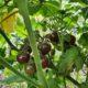Black Cherry, Tomaten, Samen, 2019