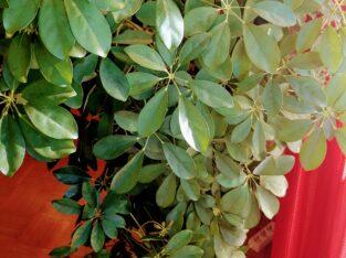 Schefflera buschig 160 cm hoch sehr gepflegt für in/outdoor