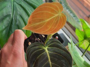 Philodendron melanochrysum etablierter Ableger