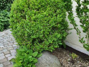 Buchsbaumkugel, lecht beschädigt
