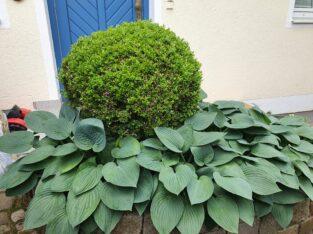 Buchsbaumkugel