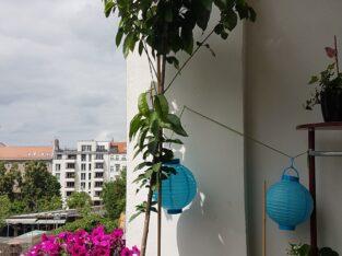 Süßkirschbaum mit Topf