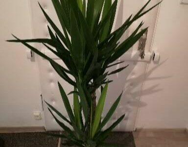 Große Yucca Palme Pflanze 140 cm