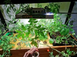 Tomate Setzling – mexikanische Honigtomate – seltene Sorte