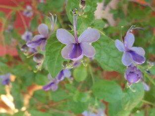 Clerodendrum Ugandense (Blauflügelchen): Ableger/Stecklinge