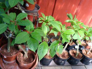 Engelstrompete, Brugmansia, kräftige Jungpflanzen, weiß