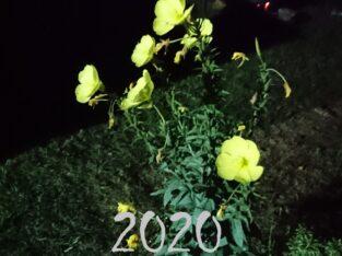 Nachtkerze, Heilpflanze, Samen, 2020