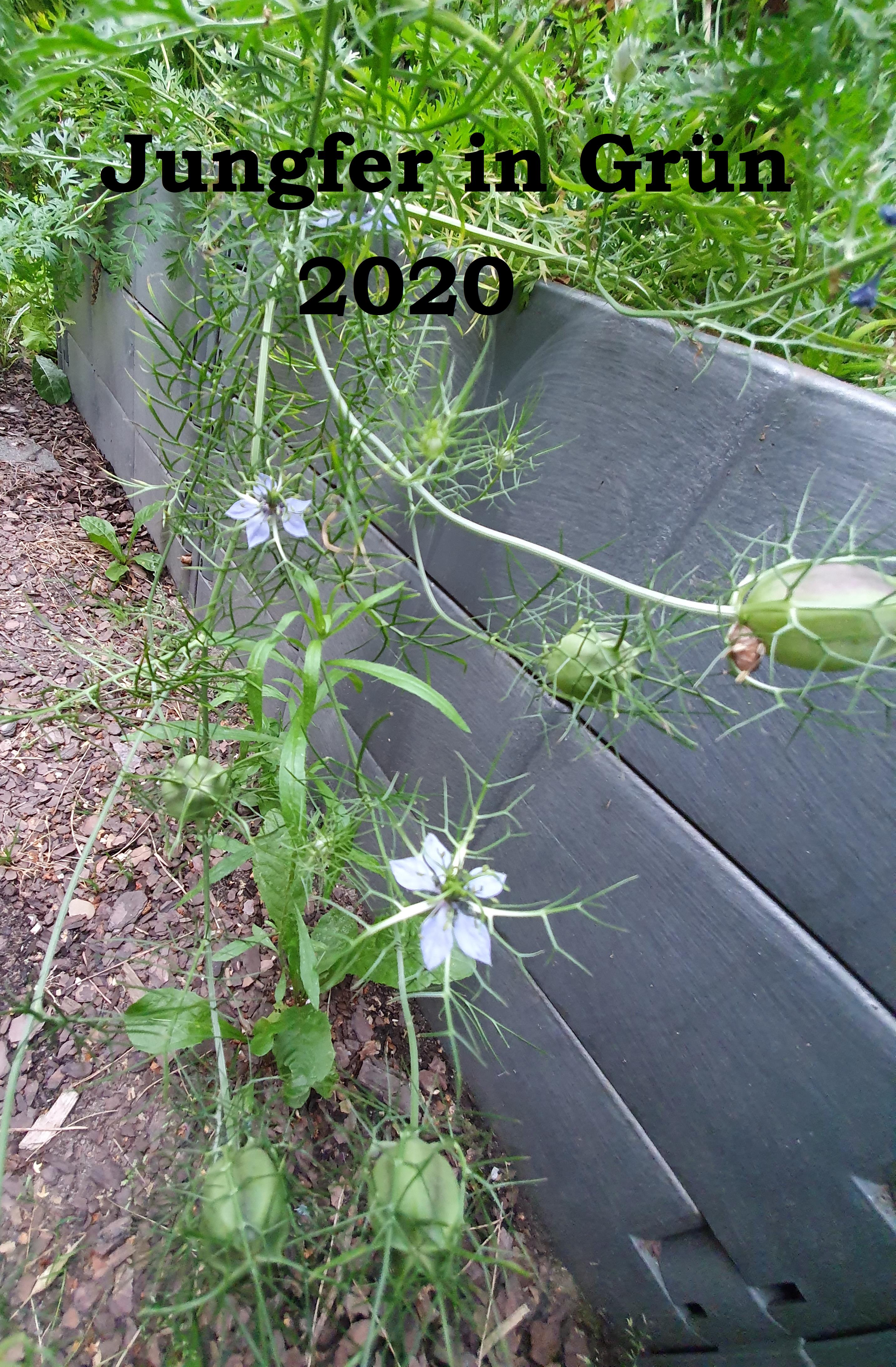 Jungfer in Grün, Samen, weiß-blau, 2020