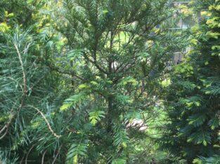 Eiben Taxus Baccata