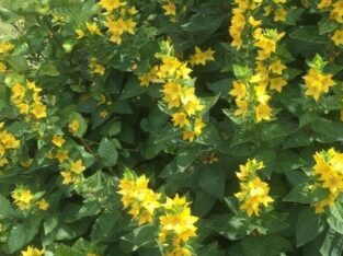 "Wunderschöner Goldfelberich, ""Bienen-Schmetterlingsstaude"""