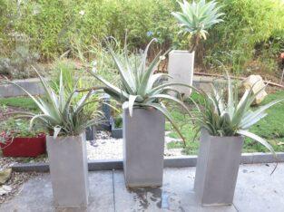 ALOE VERA Arrangements 3 x große Aloe Vera Pflanze im Kübel