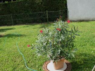 1 wunderschöner himbeerfarben blühender Oleander im Topf
