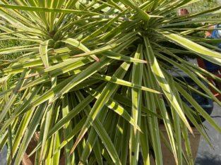 Traumhafte Ourdoor Yucca mit 2 Köpfen!