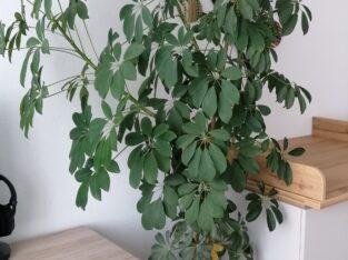 Schefflera arboricola mit Übertopf