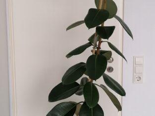 Ficus elastica robusta mit Übertopf