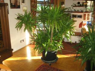 Yuccapalme Yucca Palme 5-armig buschig 170 cm sehr gepflegt