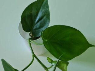 Philodendron scandens Ableger bewurzelt Kletterpflanze