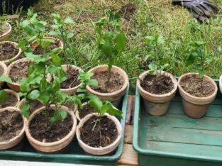 Hibiskus Jungpflanzen