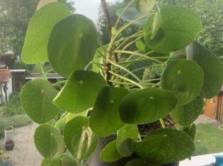 Chinesischer Glückstaler, Pilea, Pfannkuchenpflanze