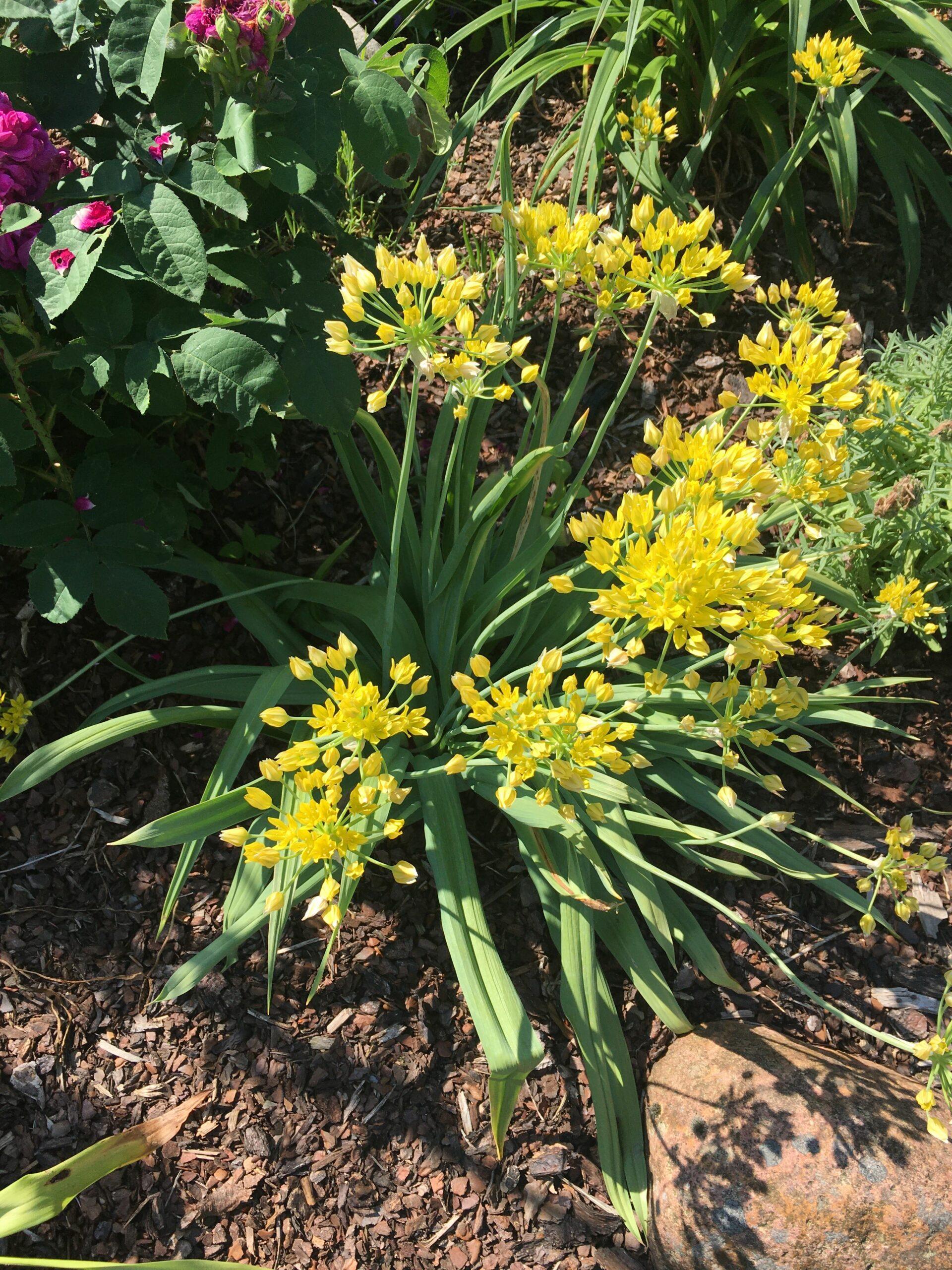 Zwiebeln Allium