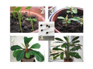 Samen / Pflanze Spuck-Palme Spuckpalme Euphorbia Leuconeura
