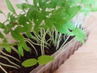 Bio-Cocktail-Tomaten rot, Setzlinge, 2 Pflanzen à ca. 10cm