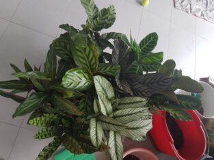 Calathea Korbmarante Maranta Zimmerpflanze