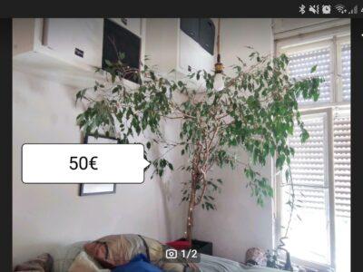 Ficusbaum mit Lichterkette