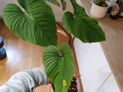 mamei green philodendron