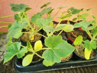 Tomaten Zucchini und Mikrowellen-Kürbisse