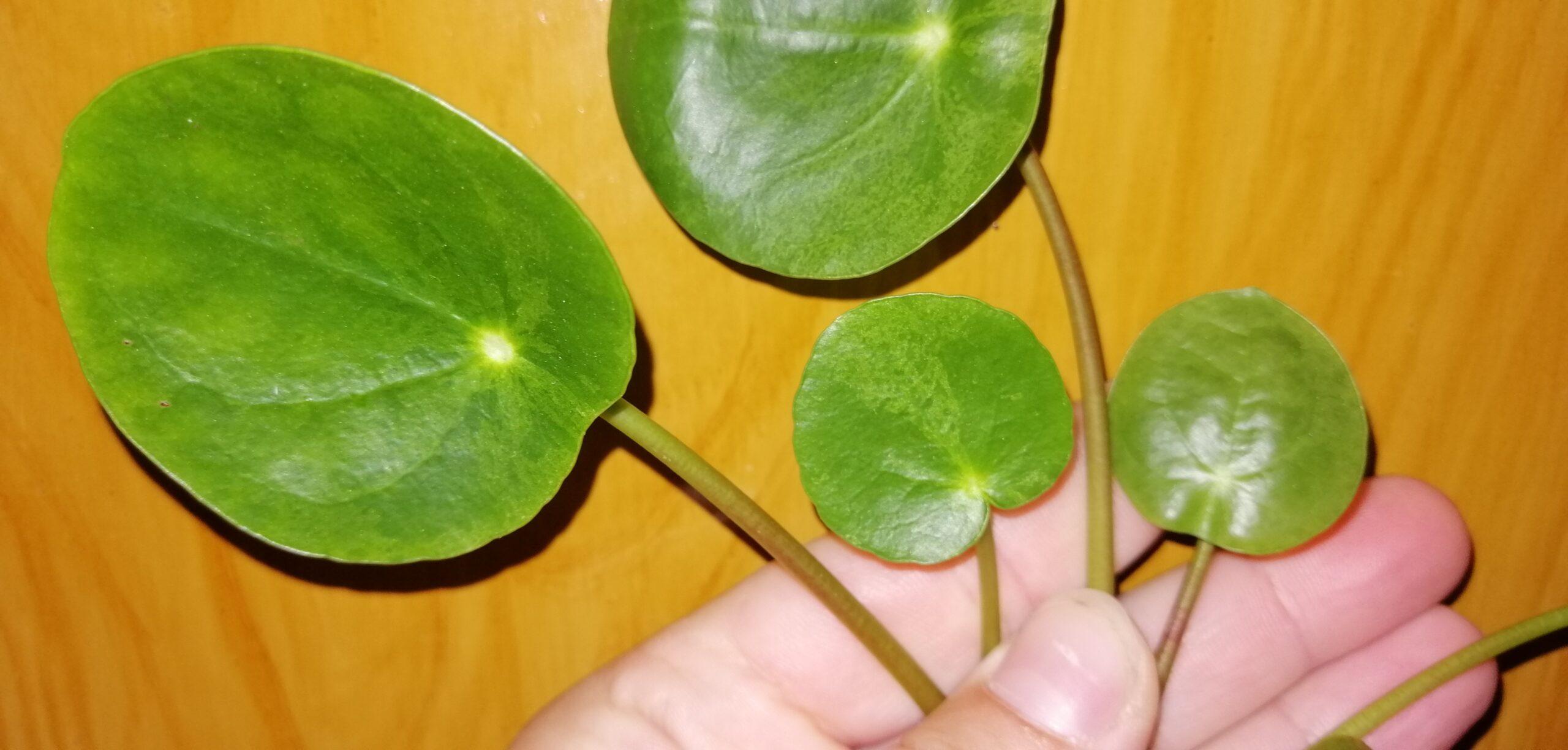 Pilea peperomioides Mojito
