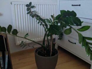 Zimmerpflanze Glücksfeder Zamioculcas Groß
