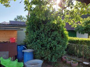 Buchsbaum Groß
