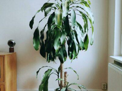 Dracaena fragans Massangeana Drachenlilie Agave Madagaskar
