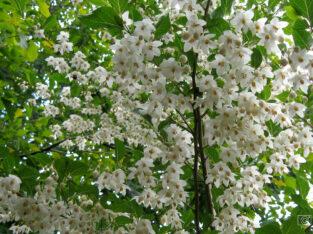 Schneeglöckchenbaum (Styrax Japonica) 200cm im Topf