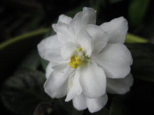 Usambaraveilchen_1 Pflanze_Jolly Prize_weiße Blüte_zierlich