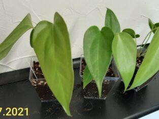 Anthurium Wendlingerii Jungpflanze