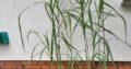 riesenchinaschilf miscanthus japonicum giganteus chinaschilf