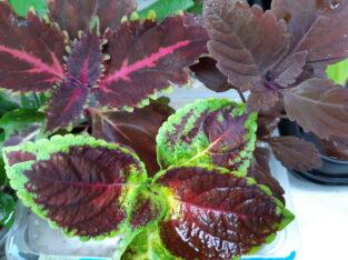 Buntnessel, Coleus blumei, Zimmerpflanze
