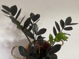 "Zamioculcas Zamiifolia ""Raven"" Ableger"