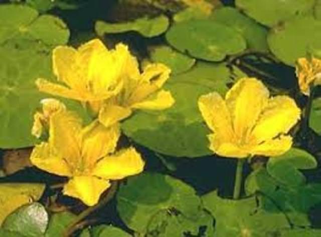 4 x Teichpflanzen kl. Seerosen Seekannen Wasserpflanzen