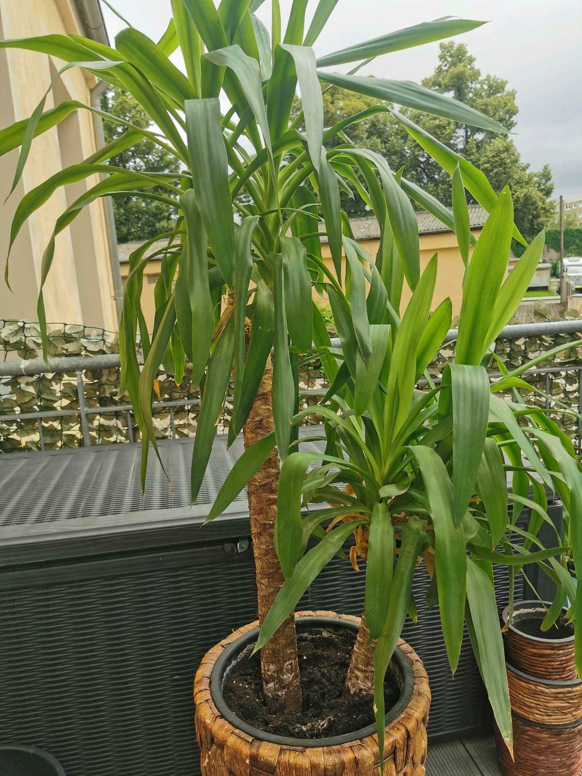 Zimmerpflanze Drachenbaum Massangeana (ohne Topf)