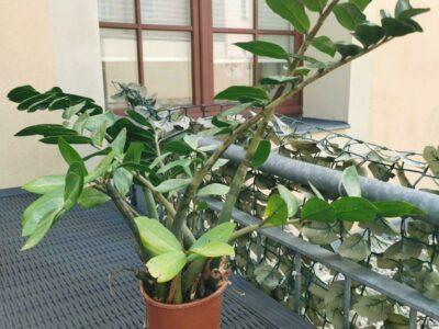 Zimmerpflanze Zamioculcas