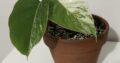 Monstera Albo Variegata Half Moon etablierte Jungpflanze