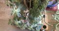 Sukkulenten Kombi aus drei arten