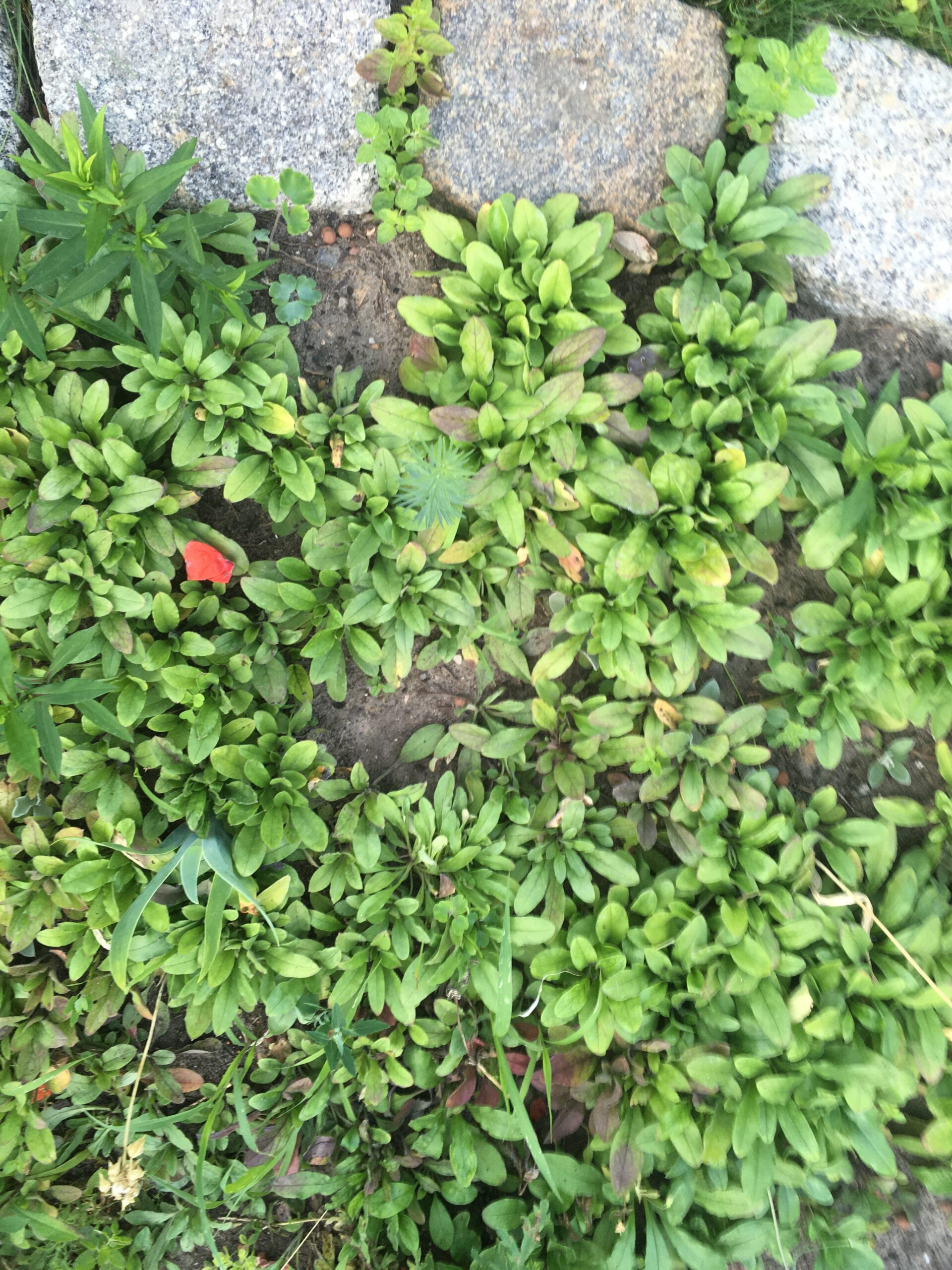 Vergissmeinnicht Jungpflanzen