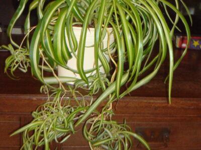 große gekräuselte Grünlilie mit Ablegern grün weißen Streife