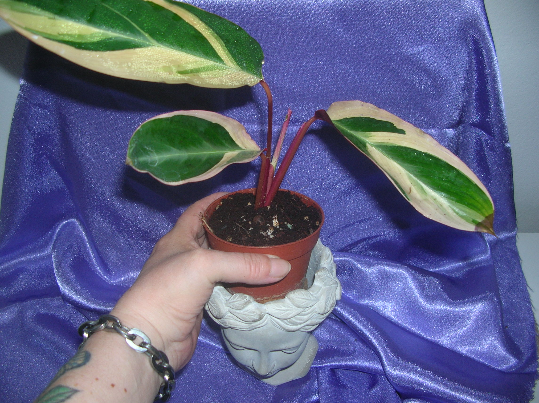 calathea tricolor