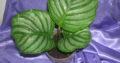 calathea obifolia