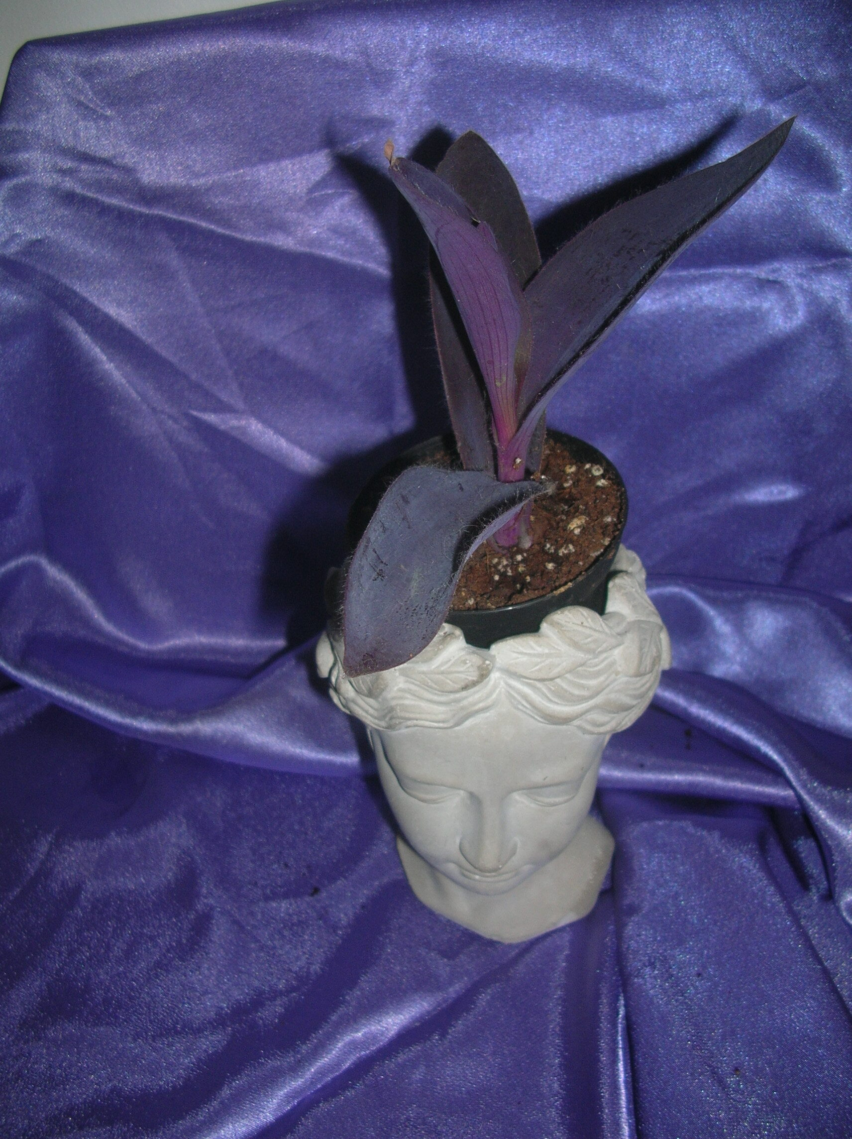 tradescantia purple heart xxl